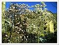 April Magnolia grandiflora Freiburg Botanischer Garten - Master Botany Photography 2013 - panoramio (1).jpg