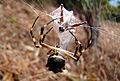 Araña - Argiope argentata.JPG