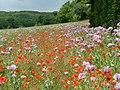 Arable-field margin, Ranscombe Farm - geograph.org.uk - 1329340.jpg