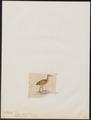Aramides axillaris - 1820-1863 - Print - Iconographia Zoologica - Special Collections University of Amsterdam - UBA01 IZ17500043.tif