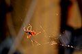 Aranha num dos terraços do Aleixo (8314191890).jpg
