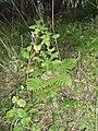 Araucaria heterophylla (Salisb.) Franco (AM AK298956-1).jpg