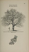 Arboretum et fruticetum britannicum, or - The trees and shrubs of Britain, native and foreign, hardy and half-hardy, pictorially and botanically delineated, and scientifically and popularly described (14781600684).jpg