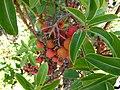 Arbutus andrachne fruits.JPG