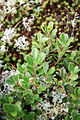 Arctostaphylos uva-ursi 2-eheep (5098069864).jpg