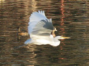 Great Egret (Ardea alba) Image location: Pond ...