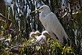 Ardea alba -chicks and nest -Morro Bay Heron Rookery -8b.jpg