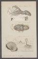 Argonauta argo - - Print - Iconographia Zoologica - Special Collections University of Amsterdam - UBAINV0274 090 01 0004.tif