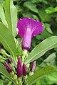 Argyreia cuneata - Purple Morning Glory - at Beechanahalli 2014 (18).jpg