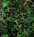 Aristolochia sempervirens - Flickr - peganum.jpg