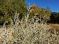 Artemisia absinthium - absinthium - Flickr - Matt Lavin (2).jpg