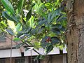 Artocarpus heterophyllus (Jack fruit) leaves in RDA, Bogra 02.jpg