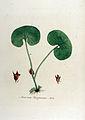Asarum europaeum — Flora Batava — Volume v12.jpg