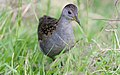Ash-throated Crake.jpg