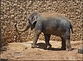 Asian-Elephant-Jerusalem-Jerusalem-Biblical-Zoo-IZE-303.jpg