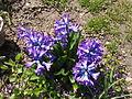 Asparagales - Hyacinthus orientalis - 3.jpg