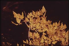 Aspen Leaves Flutter Along the East Rifle Creek, 10-1972 (3815037621).jpg