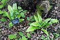 Asplenium scolopendrium - RHS Garden Harlow Carr - North Yorkshire, England - DSC01368.jpg