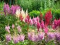 Astilbes in the Botanical Garden 01.JPG