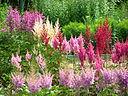 Astilbes in the Botanical Garden 01