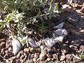 Astragalus purshii glareosus (3745559519).jpg