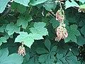 At kestanesi, Sapindaceae family,Aesculus - panoramio.jpg