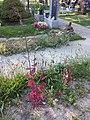 Atriplex hortensis sl1.jpg
