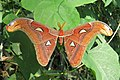 Attacus atlas - Atlas moth - at Peravoor (25).jpg