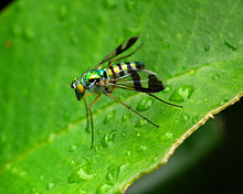 Austrosciapus connexus (Green longlegged fly).jpg