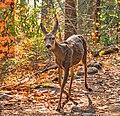 Autumn Fawn (44971709875).jpg
