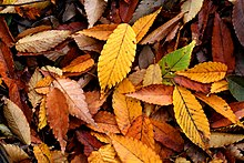 Fallen leaves covering a patch of ground