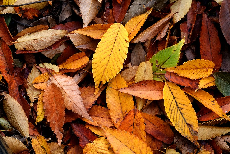 Autumn Leaf 08Nov17