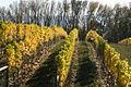Autumn grapes.jpg