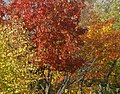 Autumn leaves, beside Princess Road, Moss Side - panoramio.jpg
