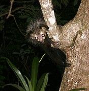 Aye-aye (Daubentonia madagascariensis) 5.jpg