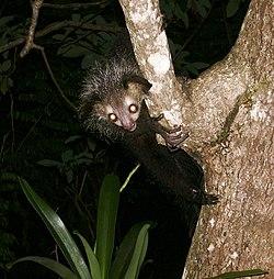 Un aye-aye, dans un arbre, la nuit, à Madagascar. Bien sûr, ses yeux ne brillent pas vraiment dans le noir: c'est un effet du flash