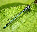 Azure Bluet, male, Coenagrion puella (28826491347).jpg