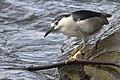 BDT2155 .black crowned heron.jpg