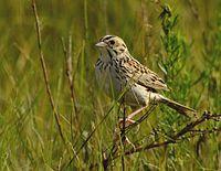 Baird's Sparrow (25865756586) (cropped).jpg