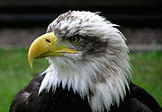 Bald Eagle at Combe Martin Wildlife and Dinosaur Park, North Devon, England
