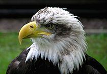 Bald.eagle.closeup.arp-sh.750pix.jpg