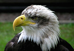 Bald.eagle.closeup.arp-sh.750pix