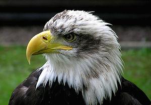 Bald Eagle at Combe Martin Wildlife and Dinosa...