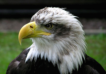 Portrait of a bald eagle, showing its strongly hooked beak and the cere covering the base of the beak. Bald.eagle.closeup.arp-sh.750pix.jpg