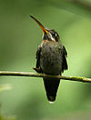 Band-tailed Barbthroat (Threnetes ruckeri)
