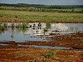 Bando de paturi ou irerê (Dendrocygna viduata) em água represada da chuva após o corte do canavial ao lado da Rodovia vicinal Motuca - Matão. - panoramio.jpg