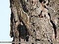 Bar-tailed Tree-creeper (Certhia himalayana) (43571490412).jpg