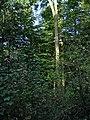 Barkestone Wood, Belvoir Estate - geograph.org.uk - 64011.jpg