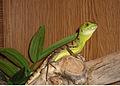 Basilisco verde.jpg