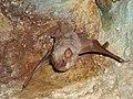Bat on a cave wall in Australia.jpg